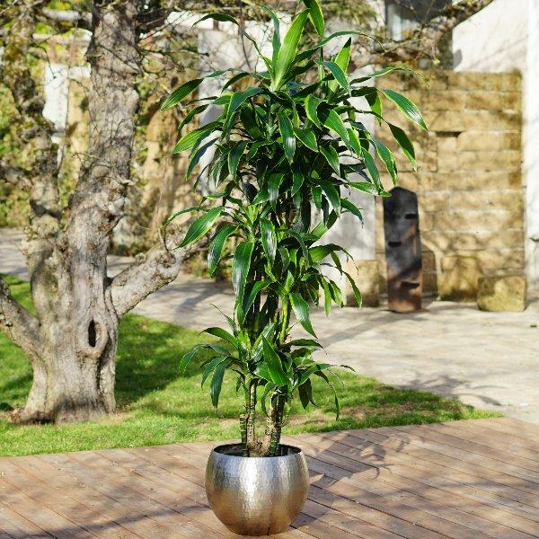 Dracaena fragrans 'Arturo' Bild 1