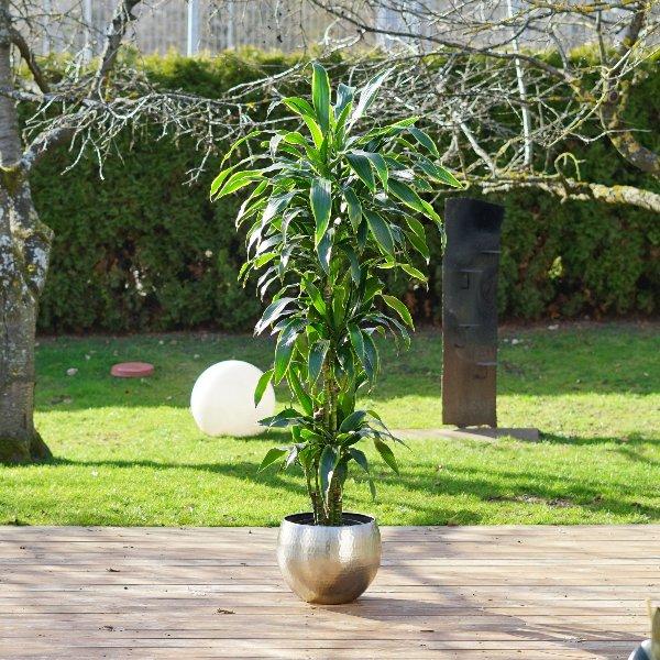 Dracaena fragrans 'Arturo' Bild 2