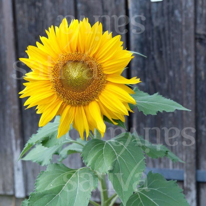 Sonnenblume 'Sunspot' Bild 1