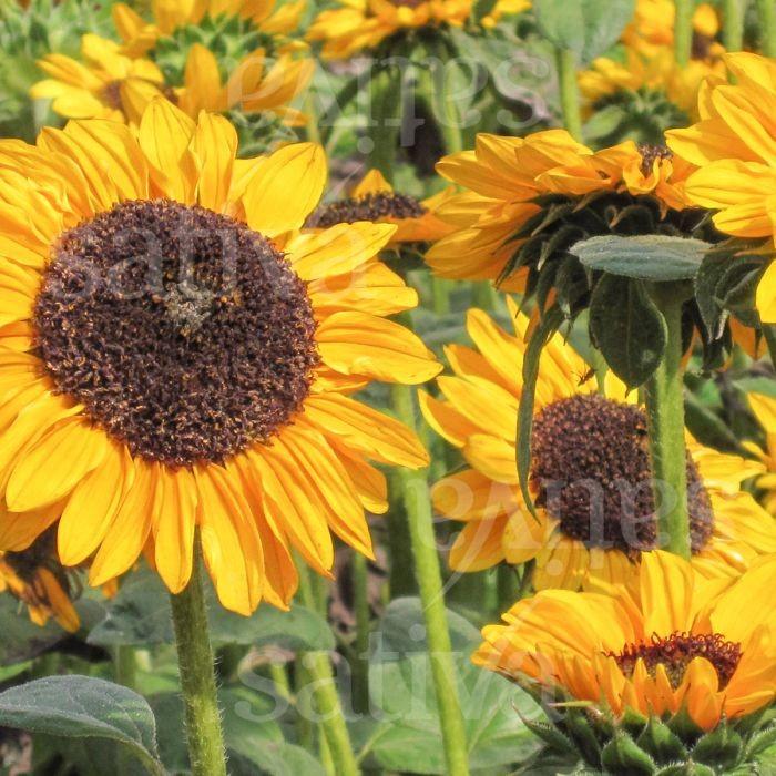 Sonnenblume 'Hella' Bild 1