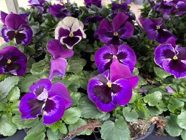 Viola großblumig Bild 2