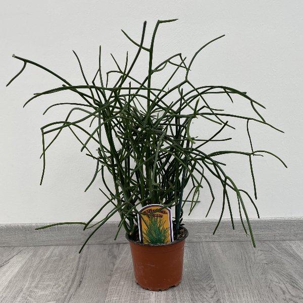 Bleistiftbaum Bild 1