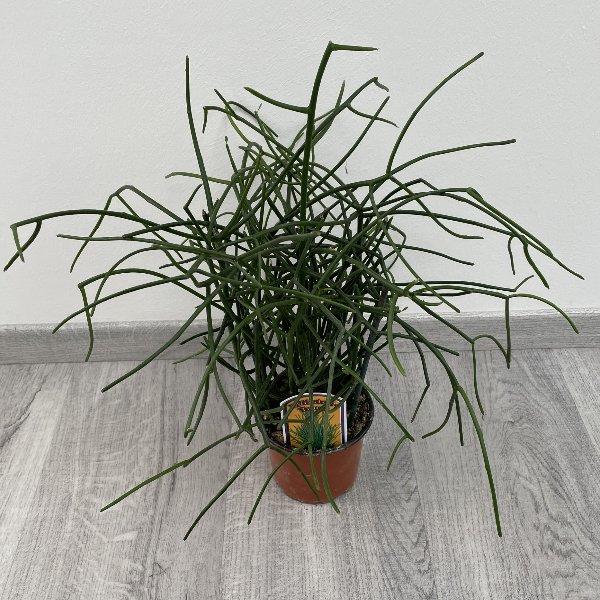 Bleistiftbaum Bild 2