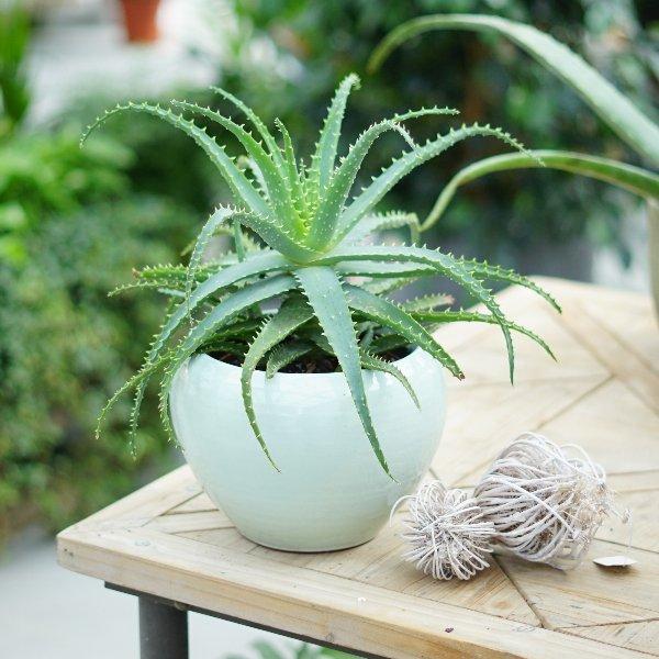 Aloe arborescens Bild 1