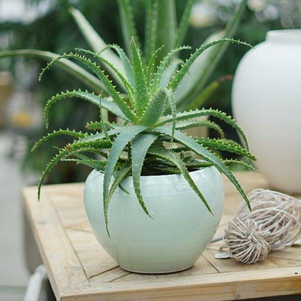 Aloe arborescens Bild 3