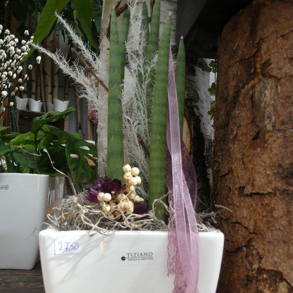 Sansiveria Cylindrica im Topf dekoriert Bild 2