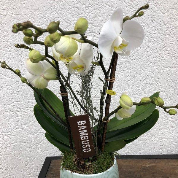 Orchidee - weissblumig mit Übertopf Bild 1