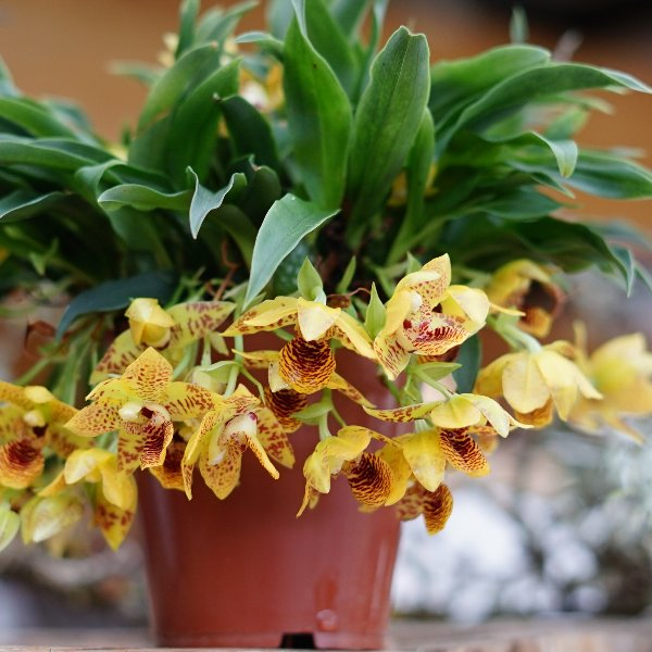 Orchidee gelb Bild 1