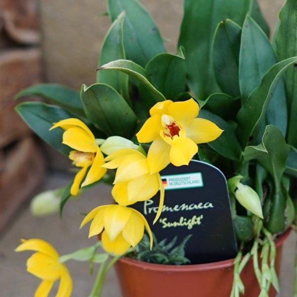 Orchidee gelb Bild 2