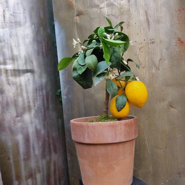 Zitrone inkl. Gefäß Bild 1