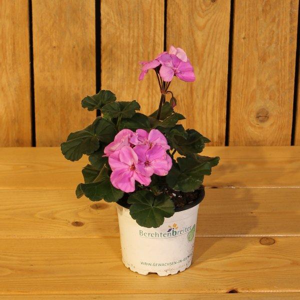 Geranie lila Bild 1