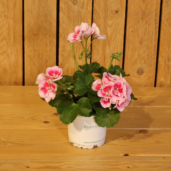 Geranie rosa-weiß Bild 1