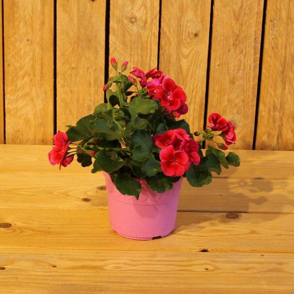 Premium Geranie pink Bild 1