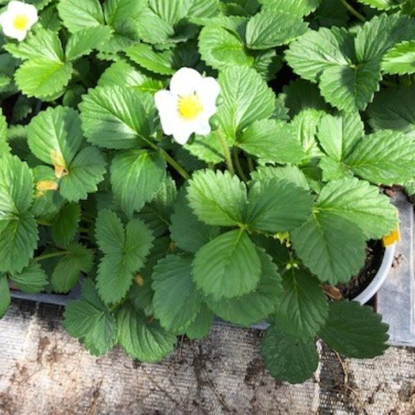 Erdbeer-Pflanzen Bild 1