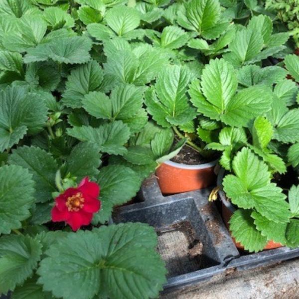 Erdbeer-Pflanzen Bild 2