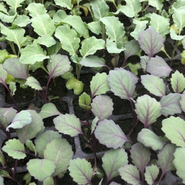 Gemüse-Pflanzen Bild 1