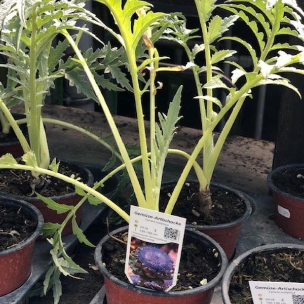 Artischocken-Pflanze Bild 1