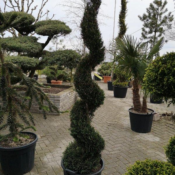 Pflanze für Dekoration Formschnitt Bild 1