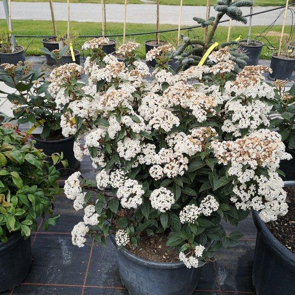 Pflanze für Dekoration saisonal Bild 1