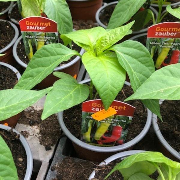 Paprika-Pepperoni-Pflanzen Bild 1