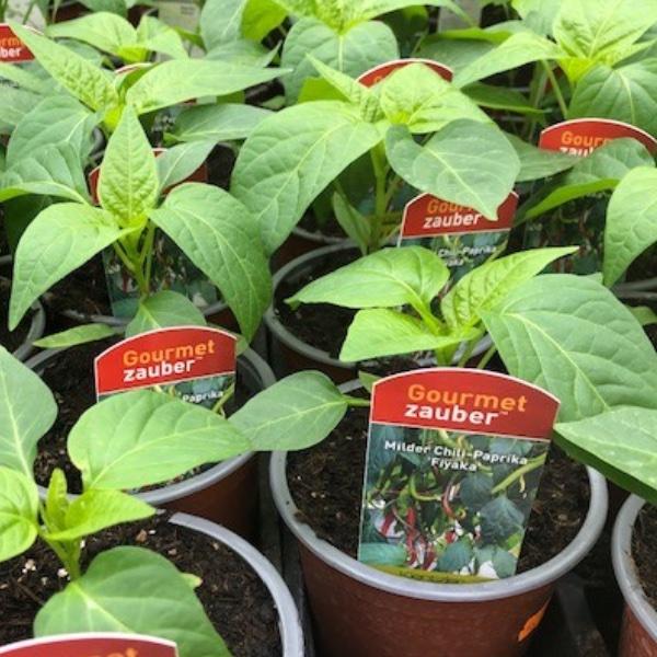 Paprika-Pepperoni-Pflanzen Bild 2