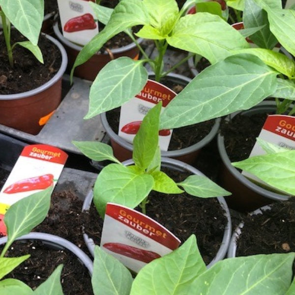 Paprika-Pepperoni-Pflanzen Bild 3
