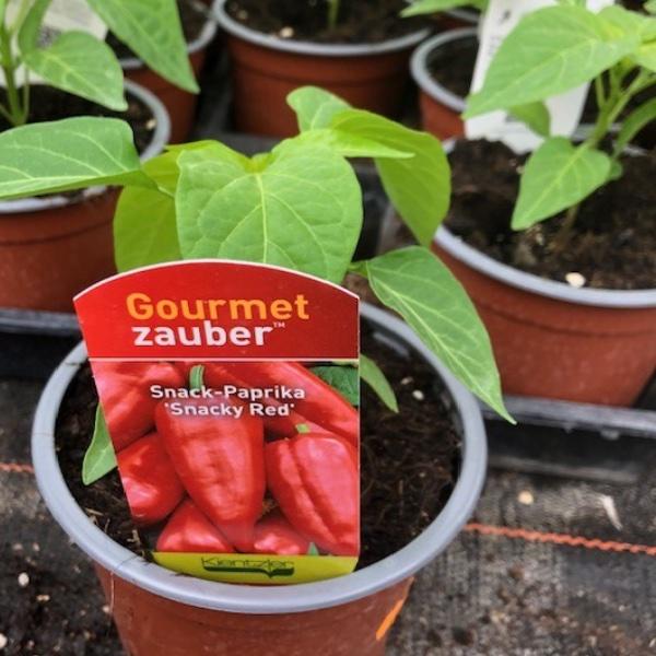 Paprika-Pepperoni-Pflanzen Bild 4