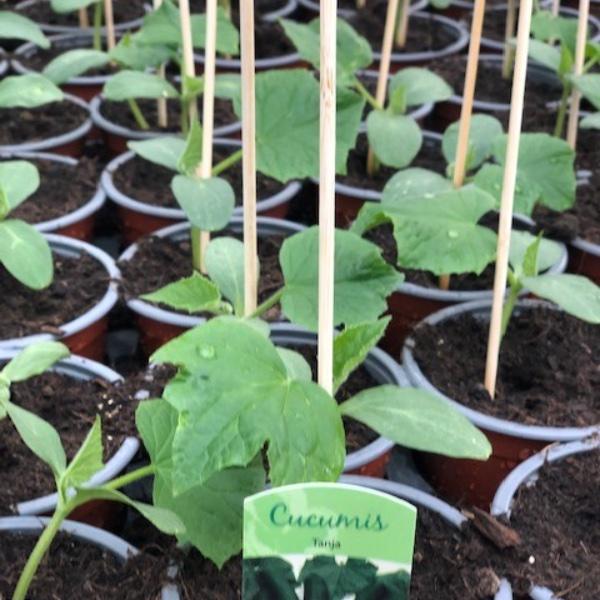 Gurken-Pflanzen Bild 3