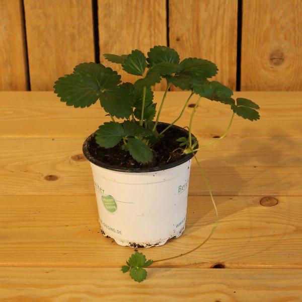 Erdbeerpflanze Bild 1