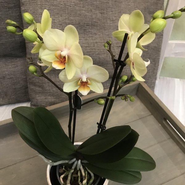 Orchidee Midi grün-gelb Bild 1