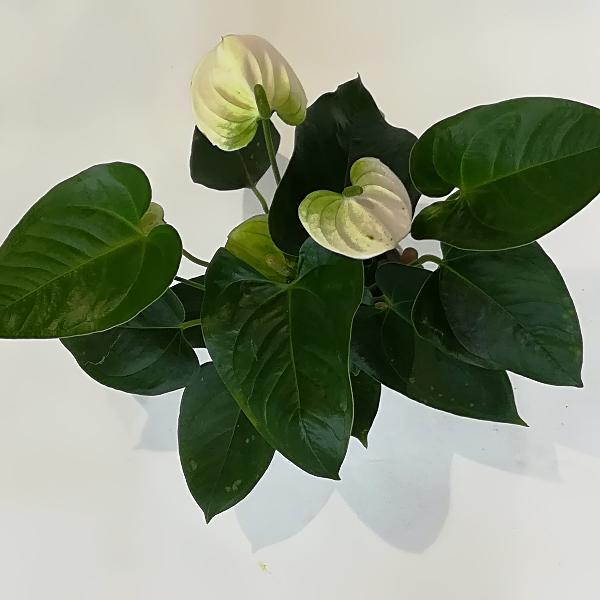 TP 4   Anthurienpflanze Bild 1