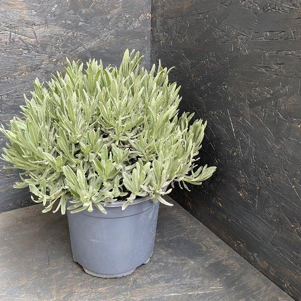 Lavendel 30-40 cm Bild 1