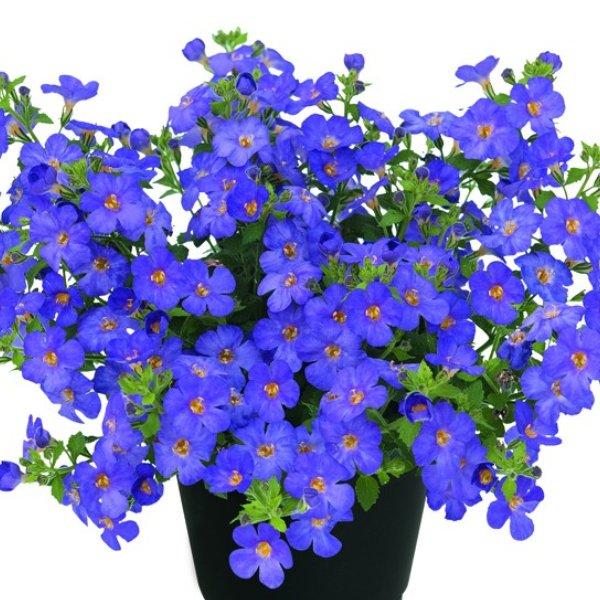 Bacopa (Schneeflöckchen) lila Bild 1