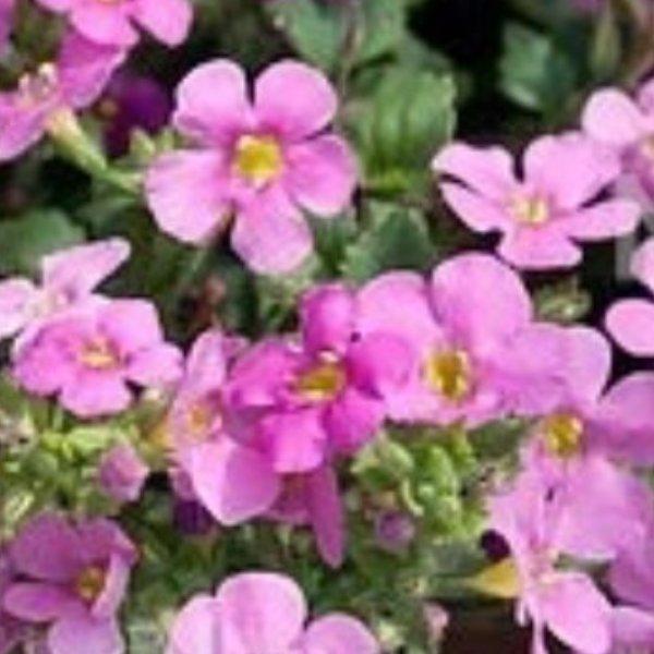 Bacopa (Schneeflöckchen) rosa Bild 1