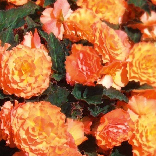 Begonien Elatior gelb-orange Bild 1