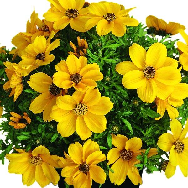 Bidens (Goldmarie) gelb Bild 1