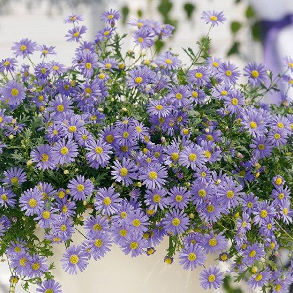 Brachycome (Gänseblümchen) lila Bild 1