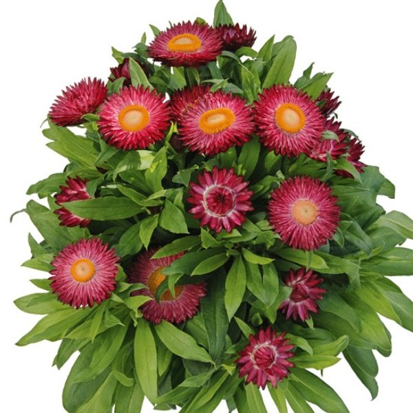 Helichrysum (Strohblume) rosa Bild 1
