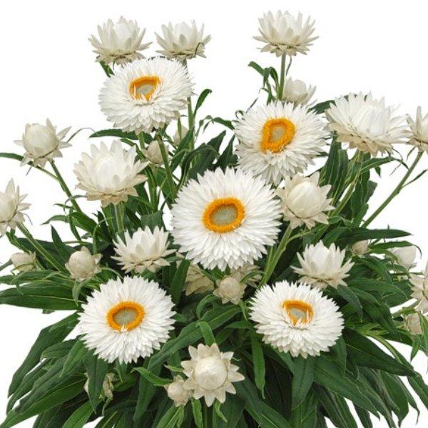 Helichrysum (Strohblume) weiß Bild 1