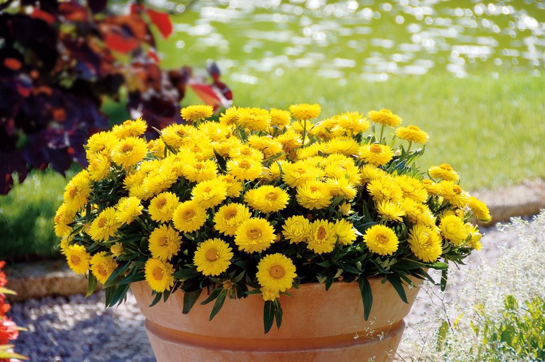 Helichrysum (Strohblume) gelb Bild 1