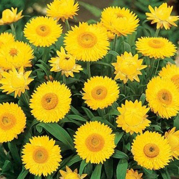 Helichrysum (Strohblume) gelb Bild 2