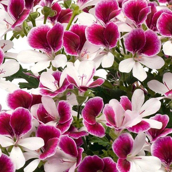 """Geranie Edelgeranie """"Angeleyes bicolor"""" Bild 1"""