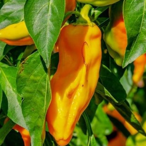Paprika Spitzpaprika gelb Bild 1