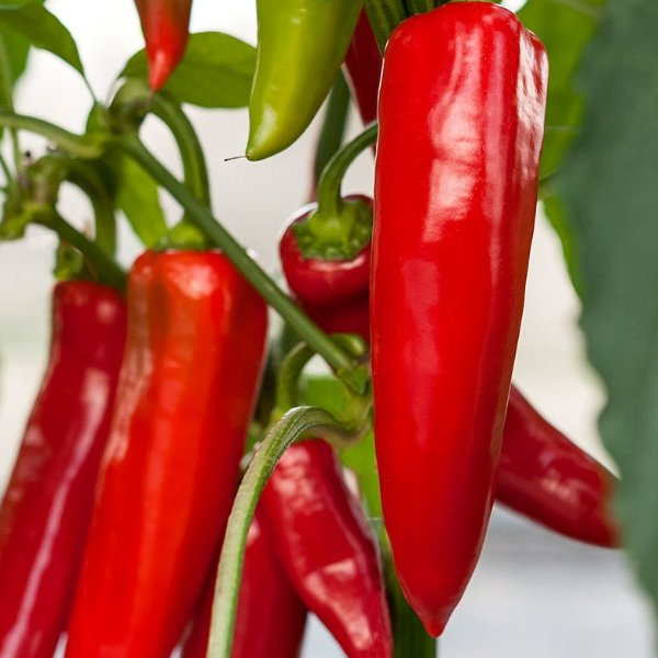 Paprika Spitzpaprika rot Bild 1