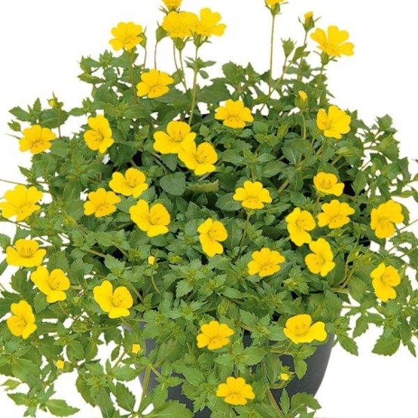 Mecardonia gelb Bild 1