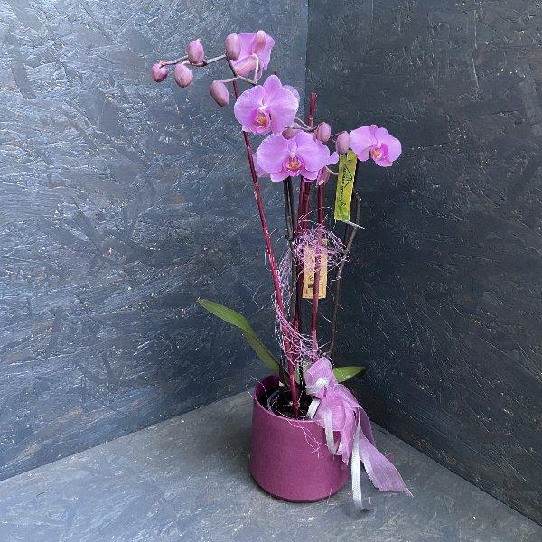 Orchidee in Lila, schön dekoriert Bild 1