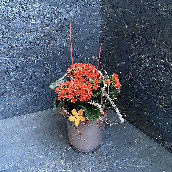 Kalanchoe, in Farben, mit Gefäß Bild 2