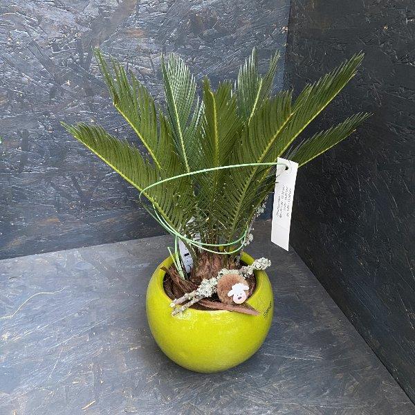 Cycas mit passendem Gefäß Bild 1