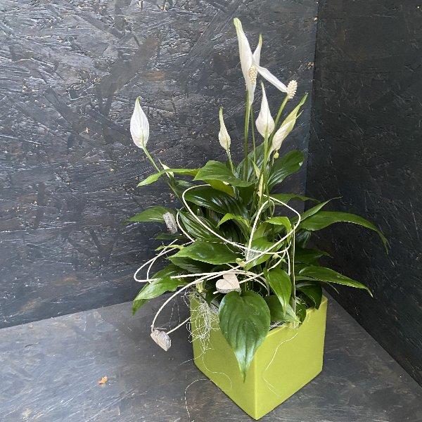 Spathiphyllum dekoriert Bild 1