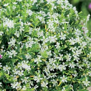 Cuphea (Sumpfmyrthe) weiß Bild 1